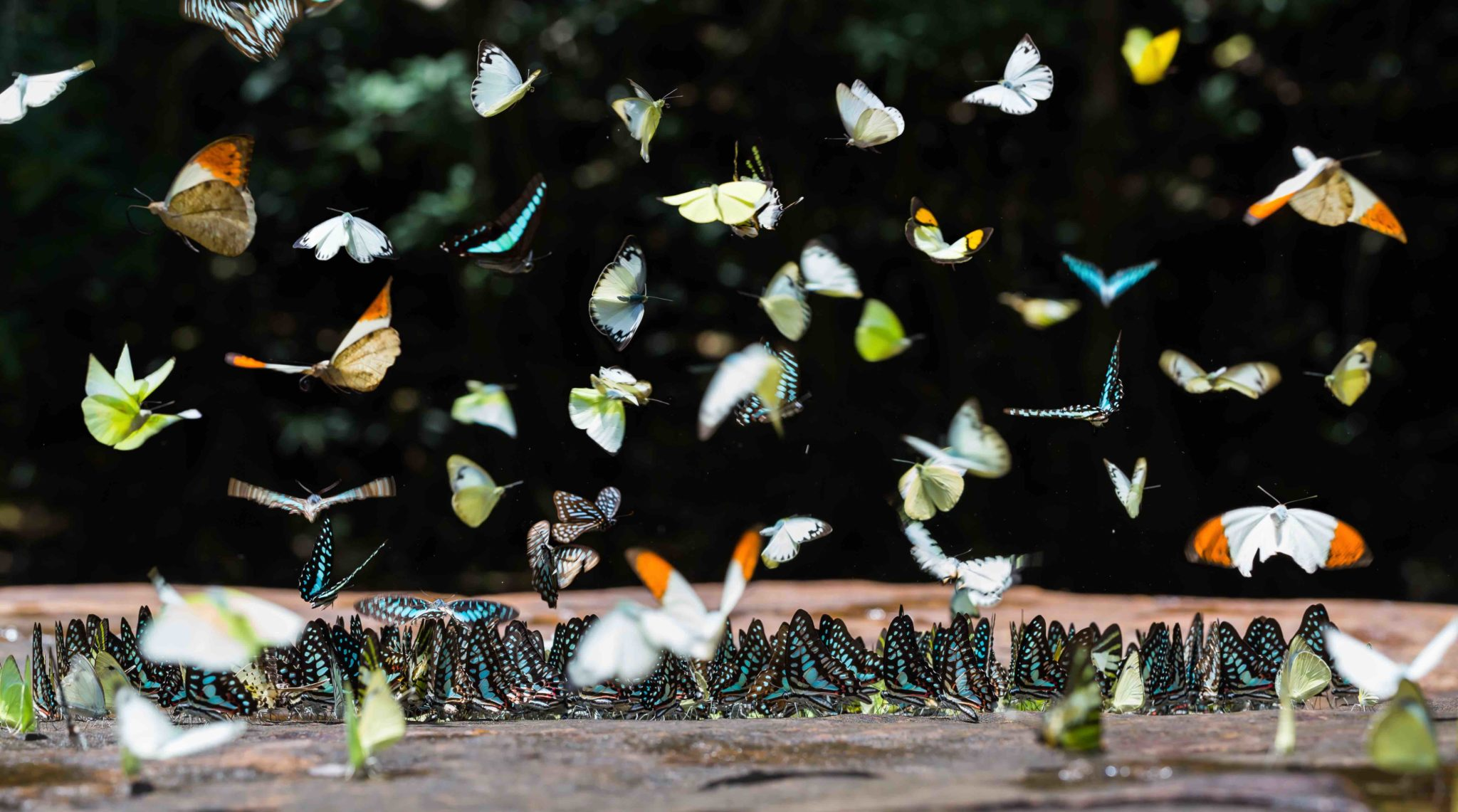 Group of butterflies puddling on the ground and flying in nature, Thailand
