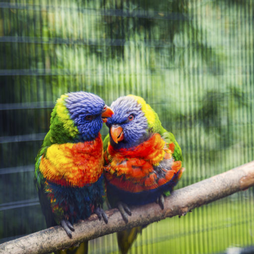 Photo by Anupam Hatui/Picfair, Love Birds, New Zealand rainbow lorikeet.