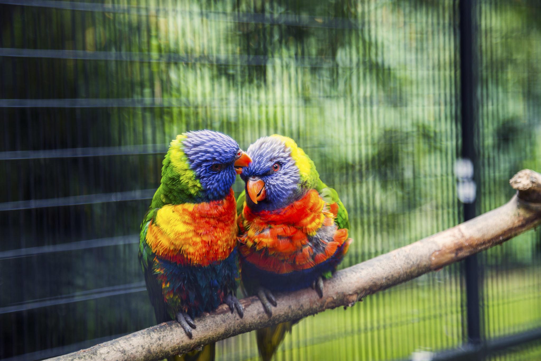 Photo by Anupam Hatui/Picfair, Love Birds, New Zealand rainbow lorikeet.